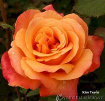 Cây hoa hồng leo Kim Tuyền 229