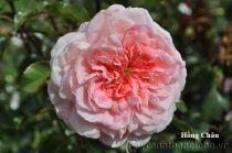 Cây hoa hồng leo Hồng Châu 230