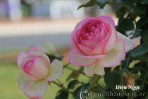 Cây hoa hồng leo Diệu Ngọc 213