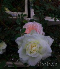 Hoa hồng cổ Nam Định