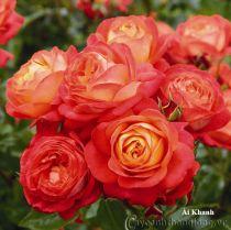 Cây hoa hồng leo Ái Khanh 217