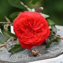 Cây hoa hồng leo Trà My 131