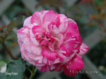 Cây hoa hồng leo Hồng Khuê 125