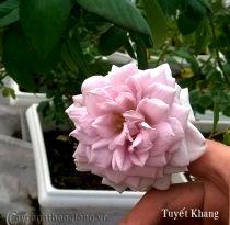 Hoa hồng Tuyết Khang 242