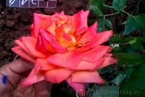 Hoa hồng Đại Vân Châu 244