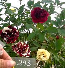 Hoa hồng Ánh Nguyệt 243