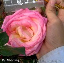 Hoa hồng Đại Minh Hồng 251