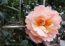 Cây hoa hồng leo Lệ Thu 124