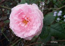 Hoa hồng leo Cát Tường 93