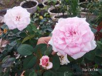 Hoa hồng Diệu Cát Châu 260