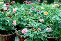 Hoa hồng terrazza đã nhiệt đới hóa