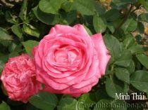 Hoa hồng Minh Thái 262