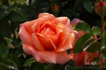 Hoa hồng Bảo Ngân 265