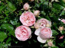 Hoa hồng Cát Minh 270