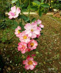 Hoa hồng leo Kim Phấn 98