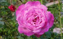 Hoa hồng leo Thanh Hà 108