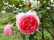 Cây hoa hồng leo Minh Khuê 129