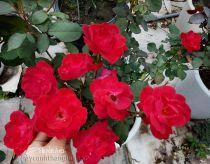Hoa hồng Huyền Ánh 233