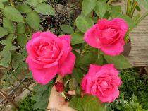 Hoa hồng Đại Hồng Ân 236