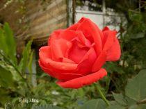 Hoa hồng Đại Hỷ Khang 252
