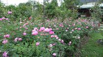 Hoa hồng truyền thống - hồng ta