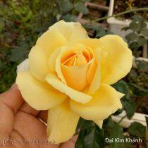 Hoa hồng Đại Kim Khánh 248
