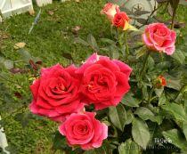 Hoa hồng Tú Quyên 257