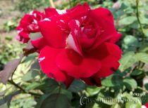 Hoa hồng Huyền Dạ Nguyệt 280
