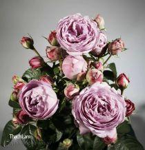 Hoa hồng Thạch Lam 287