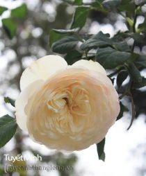 Hoa hồng Tuyết Minh 278