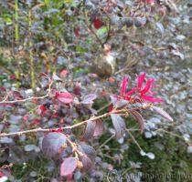 Cây hồng lộc đỏ
