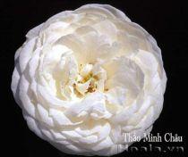 Hoa hồng Thảo Minh Châu 255