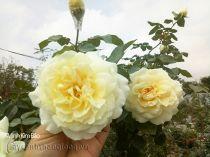 Hoa hồng Minh Kim Bảo 277