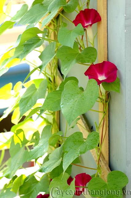 Hoa leo Teen đỏ