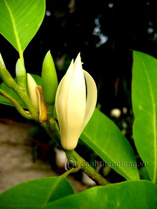 Cây Ngọc lan