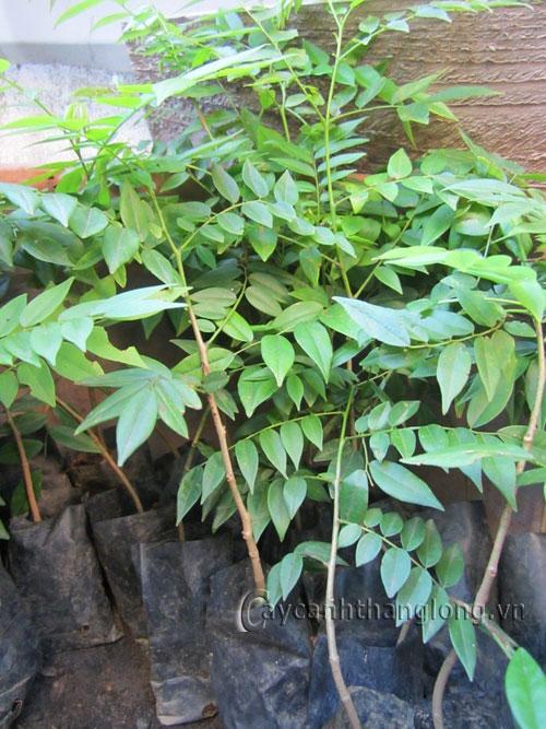 Cây Mắc mật - cây gia vị độc đáo