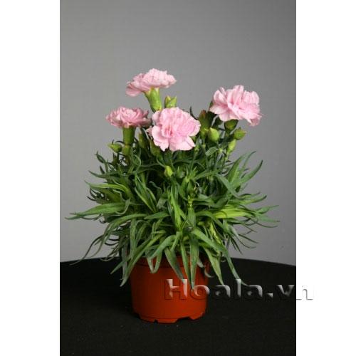 Cây giống Hoa Cẩm chướng