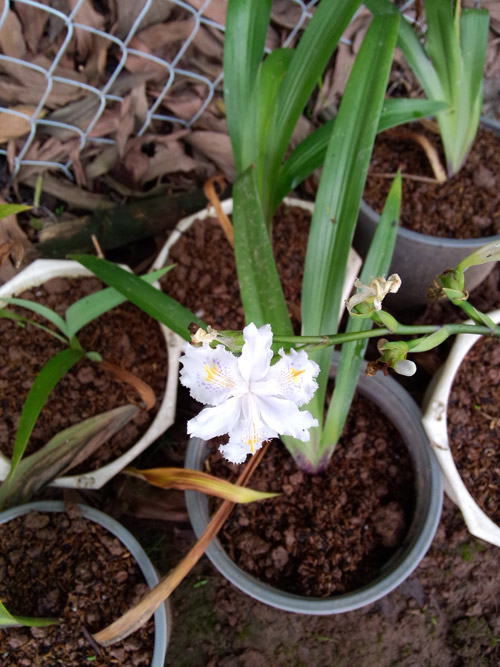 Cây giống hoa Diên vĩ nhiệt đới