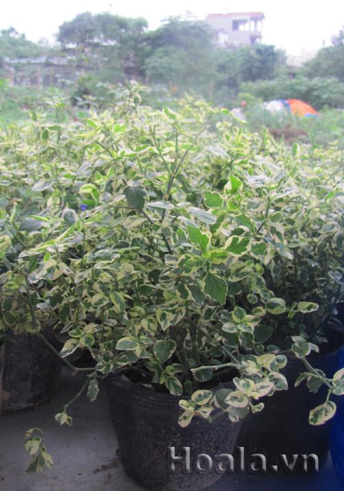 Cây giống Hoa cẩm thạch