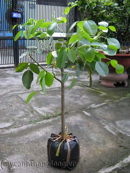 Cây giống hoa osaka ( muồng hoàng yến)