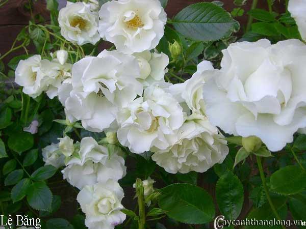 Hoa hong leo mau trang - hong le bang 42