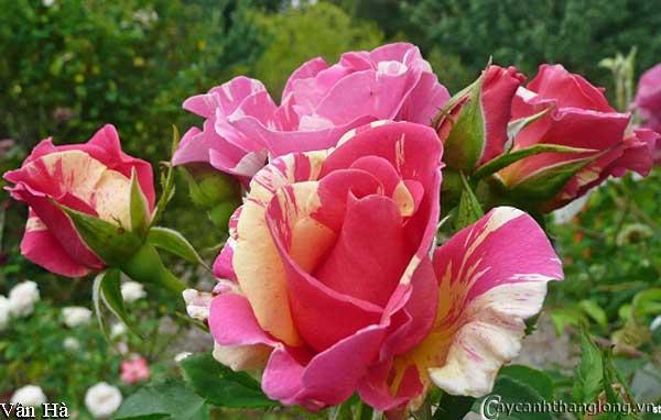 Hoa hồng leo nhập ngoại màu kẻ sọc độc đáo - Vân Hà 67 ( chùm hoa )