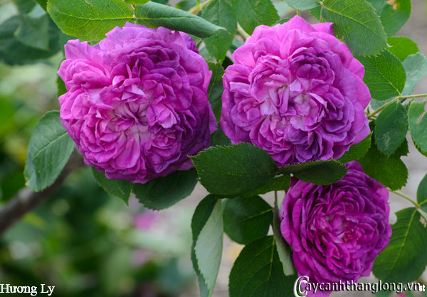 hoa hong leo huong ly 94