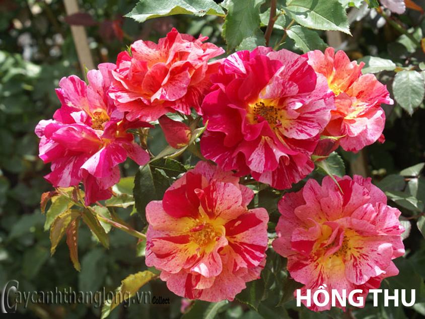 Hoa hồng leo nhập ngoại màu kẻ sọc độc đáo - Hồng Thu 132