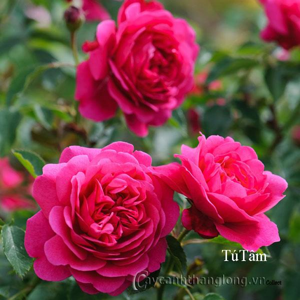 Cây hoa hồng leo Tú Tâm 159
