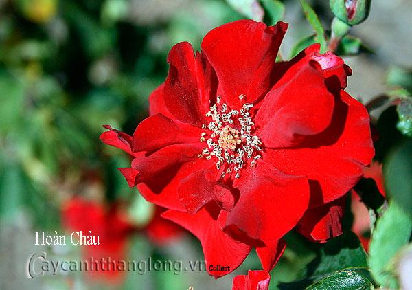 Cây hoa hồng leo Hoàn Châu 165