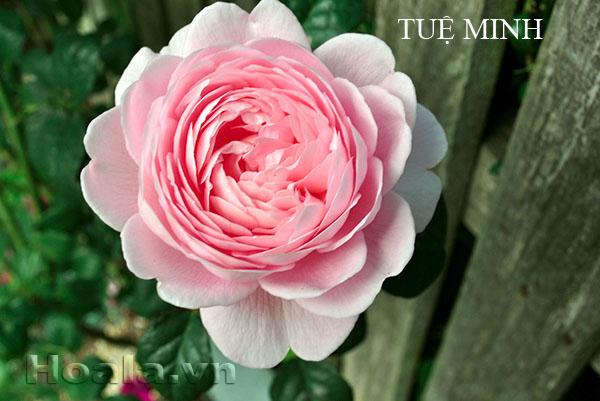 Cây Hoa hồng leo Tuệ Minh 170