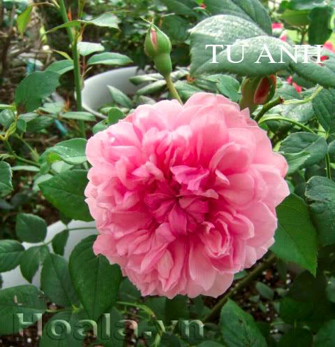 Cây hoa hồng leo Tú Anh 176