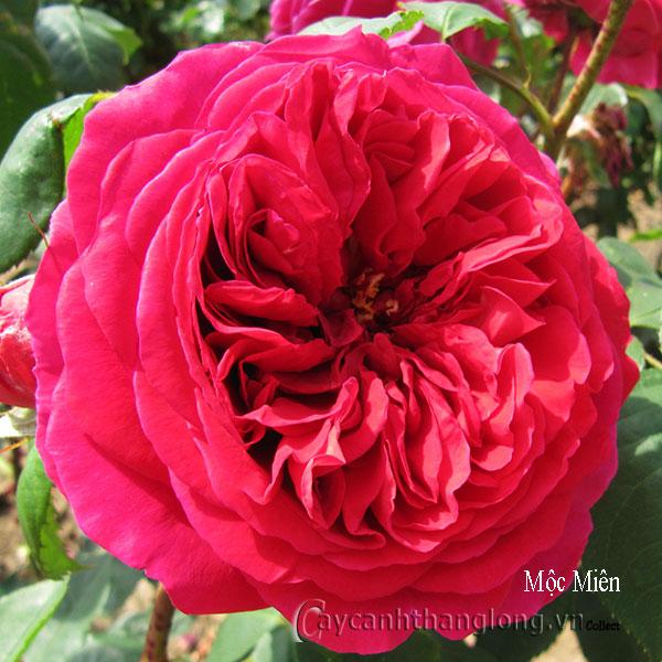 Cây hoa hồng leo Mộc Miên 177