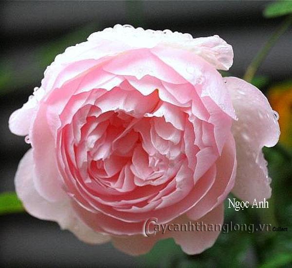 Cây Hoa hồng leo Ngọc Anh 188
